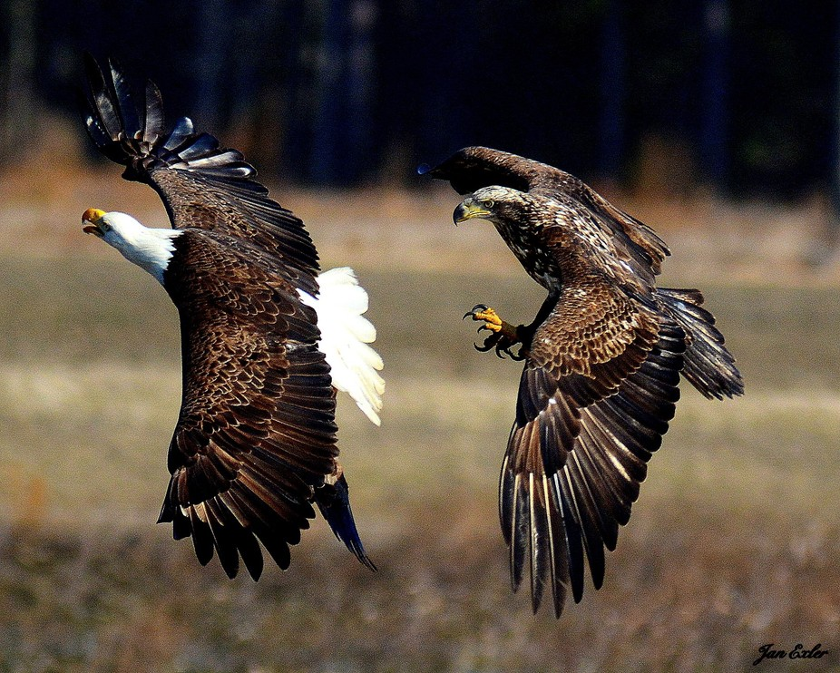 Follow the Leader! - An adult American Bald Eagle captures a Canada Goose, as a juvenile Bald Eag...