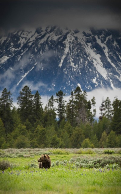 Bear in the Tetons