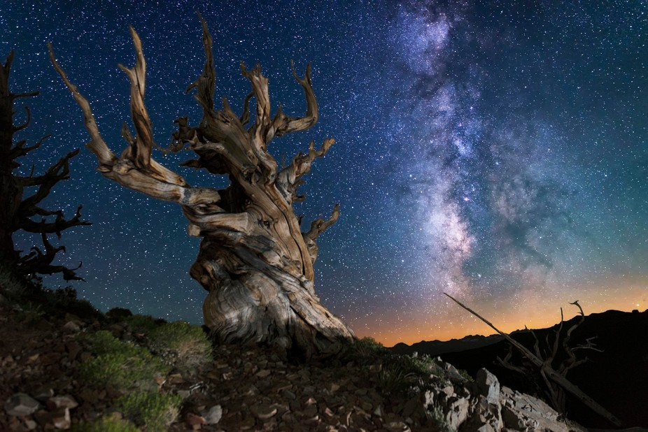Bristle-cone Pine Tree located in the Ancient Bristle-cone Pine National Forest with milky-way in...