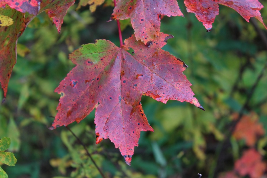 Closeup of maple leaf turning red for the fall