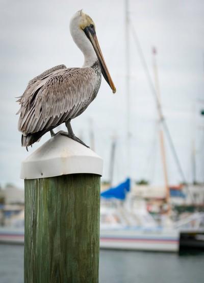 Pelican_Key_West