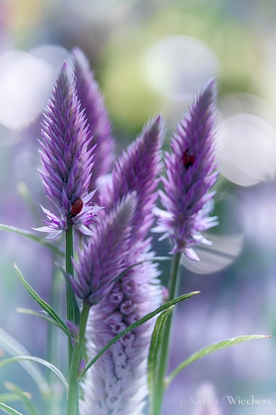 Quail Grass (Celosia argentea)