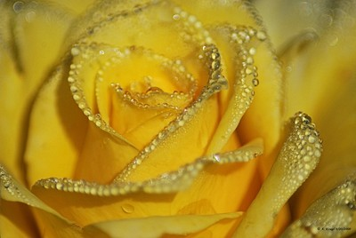 Yellow Rose with Morning Dew