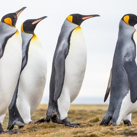 The distribution of the King Penguin, the worlds second largest penguin behind the Emperor Penguin, has been significantly reduced due to the imp...