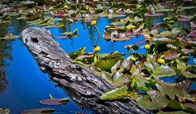 Lily Pads on Mosquito Lake