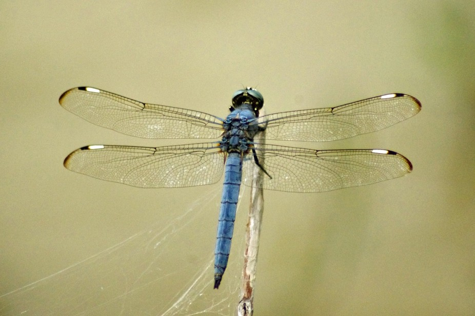 dragonfly perfect wings 3