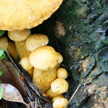 Yellow Mushrooms