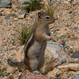 This cute little chipmunk was hanging out around Pear Lake in Rocky Mountain National Park.  There was a group of teenagers having lunch nearby, ...
