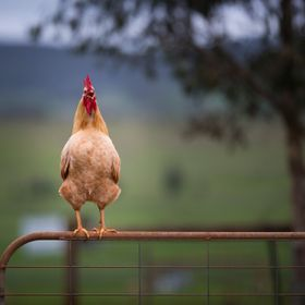 Your early morning wake up call!! Compliments of Squawker Texas Rooster at Edgar's Mission Farm Sanctuary - www.edgarsmission.org.au