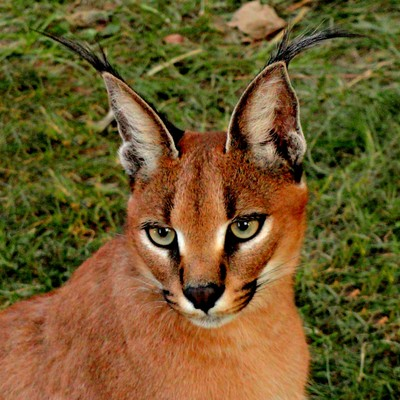 African Serval [Exotic Cat Of Africa]