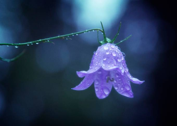 Blue rainy bell by anders_samuelsson - Macro Water Drops Photo Contest