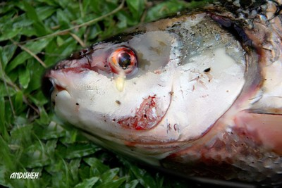 tears fish