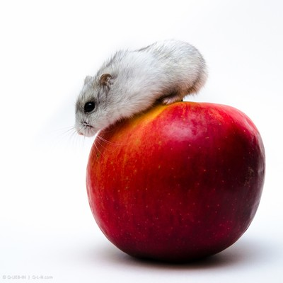 A small gray and white Jungar hamster on big red apple