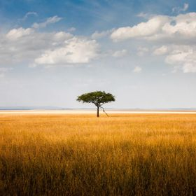 A lone acacia tree stands tall among the dry grass of the plains in Masai Mara, Kenya.
