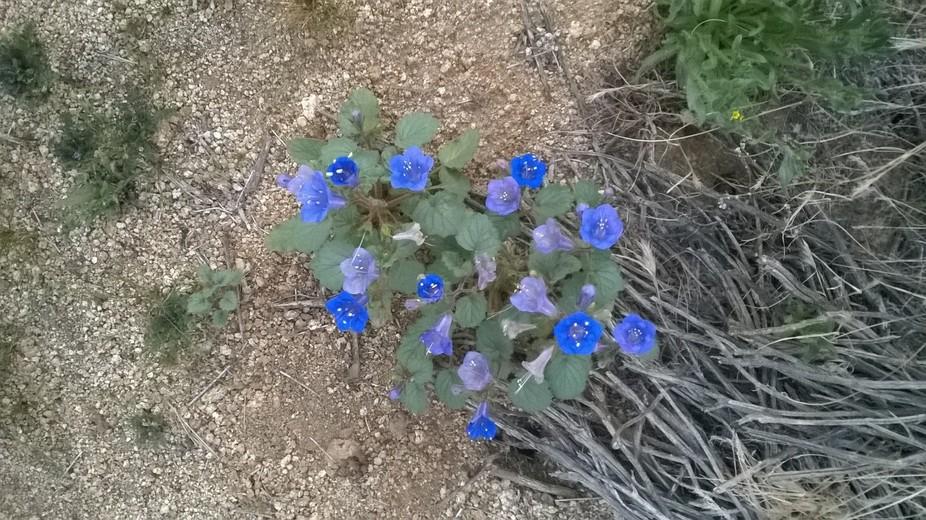 Blue Flowers in High Desert 2