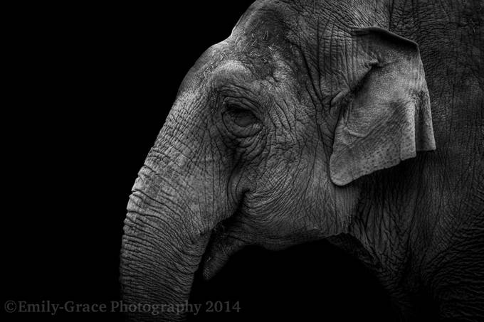Elephant by LadyTeapotPhotography - Large Photo Contest