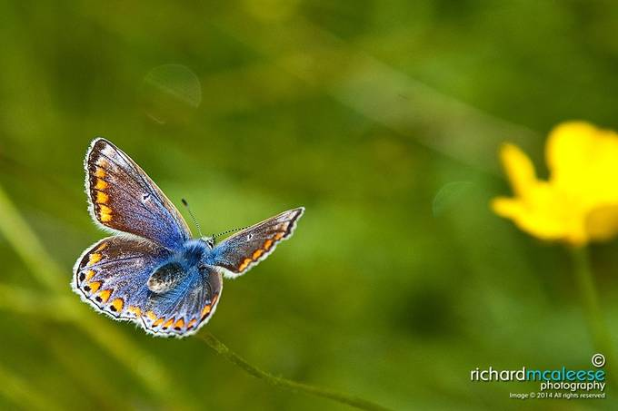 Common Blue Butterfly by richardmcaleese - Beautiful Butterflies Photo Contest