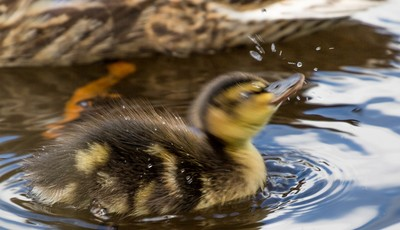 Duckling shaking