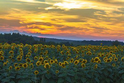 Sunflowers @ Sundown