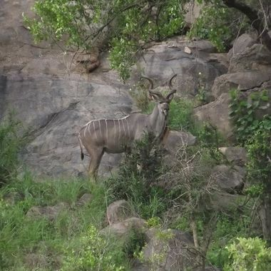 Male Kudo