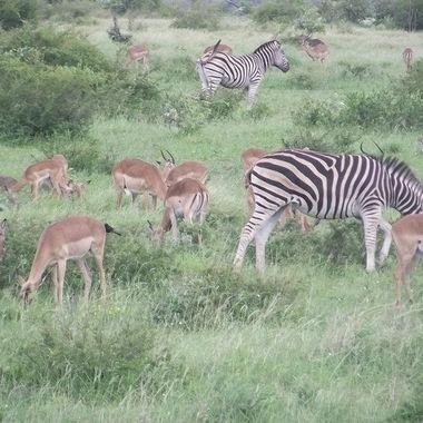 Impalla and Zebra