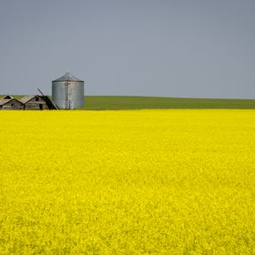 About an hour south from Calgary, I found this amazing canola field and a decrepit barn.
