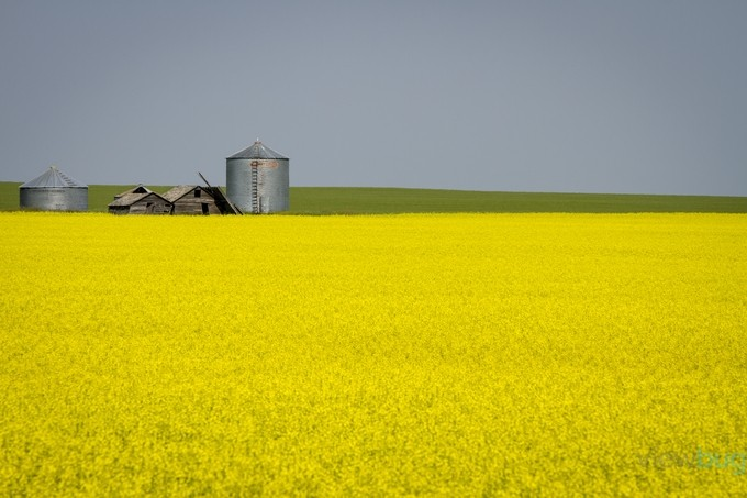 Canola Field by windycorduroy - Farming Photo Contest