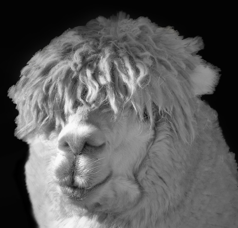 Llama with a shaggy look