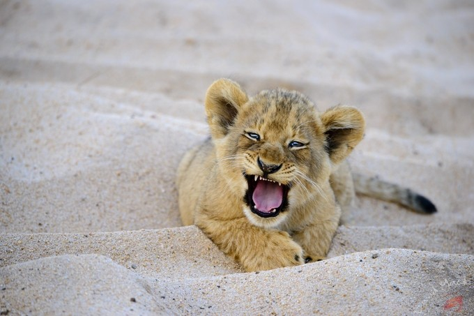 Little Roarrrrrr! by davidyack - Small Wildlife Photo Contest