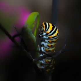 I enjoy nature and how such beauty exists among our world. So I wanted to do some macro shots of a few Caterpillars who where getting ready to st...