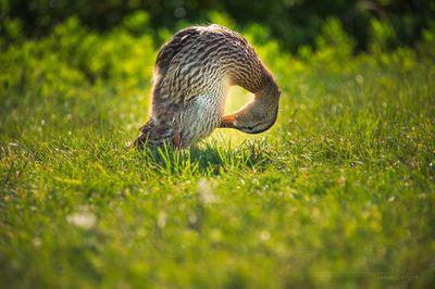 Sunlight Duck