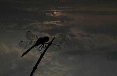 Dragonfly in moonlight