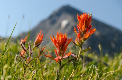 Indian Paintbrush in Brittle Silver Basin, Colorado