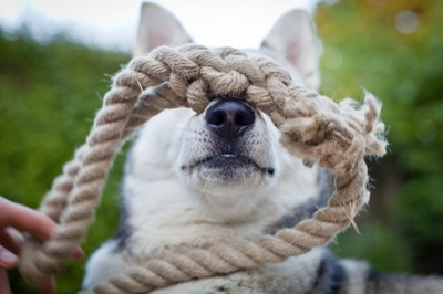 One ropey husky dog