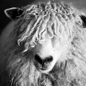 Full frame image of my Cotswold Ewe capture