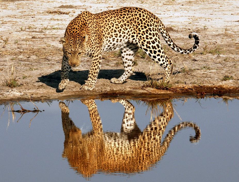 On reflection - leopard, Okavango delta, Botswana