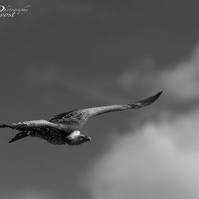 Vulture, France