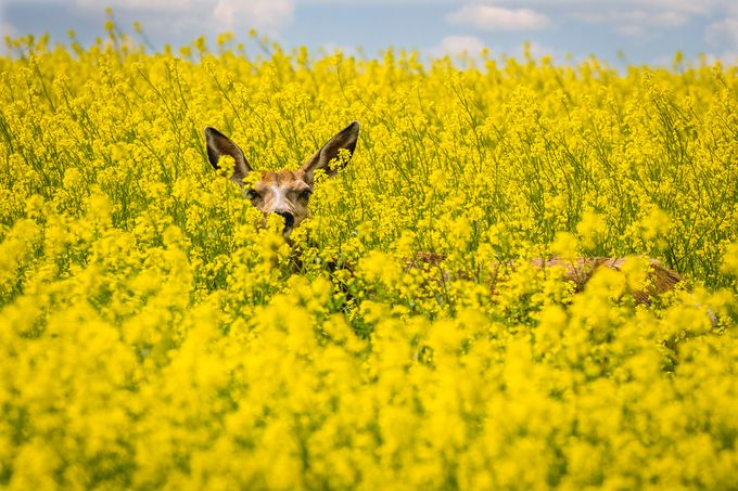 Canola Deer by tracymunson - Yellow Beauty Photo Contest