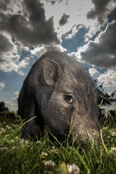 Curious Piggie