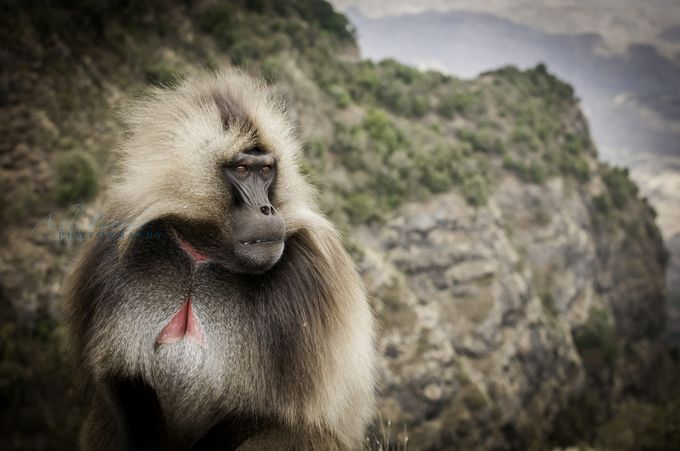 Mountain Contemplation (Ethiopia) by ashlibrookephotography - Monkeys And Apes Photo Contest