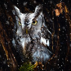 A screech owl perches inside a dead tree as the snow begins to fall.