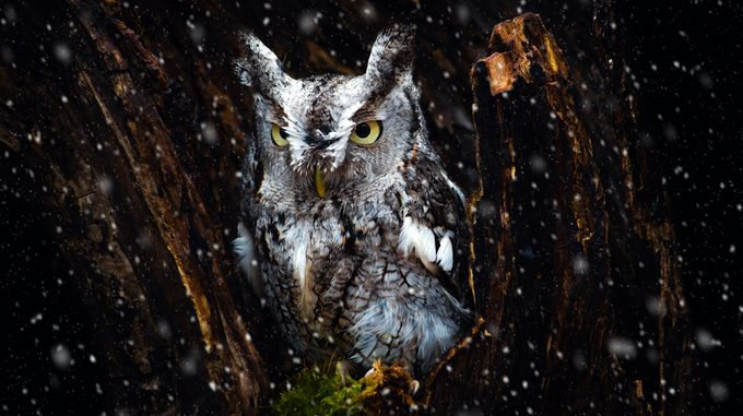 Screech Owl in the Snow by tracymunson - Only Owls Photo Contest