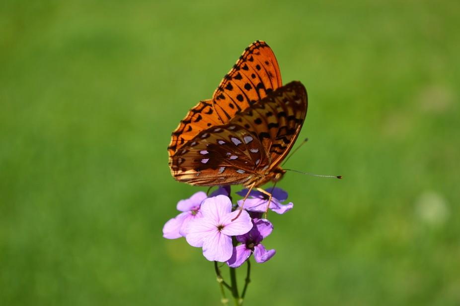 butterflies 018