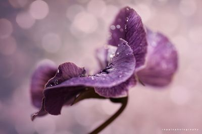 Pansy in Purple