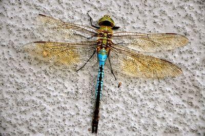 Green Darner - Dragonfly