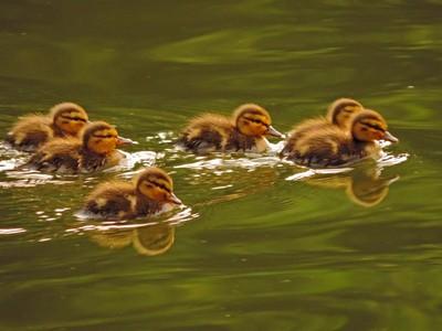 Cluster of Ducklings