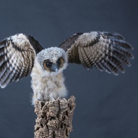 adolescent Owl spreads his wings
