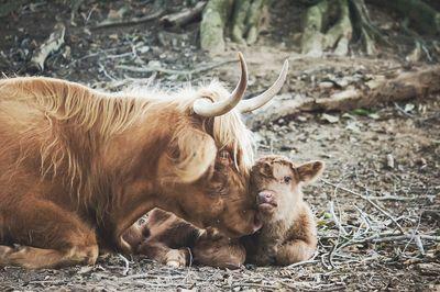 Scotch Highland Cow and Calf