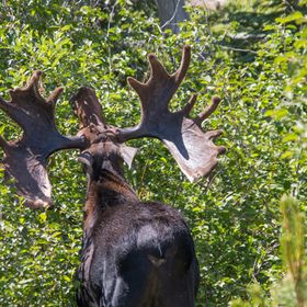 This Bull Moose in Rocky Mountain National Park has a seriously big rack.  Female moose partially choose their mates based on the size of his ant...