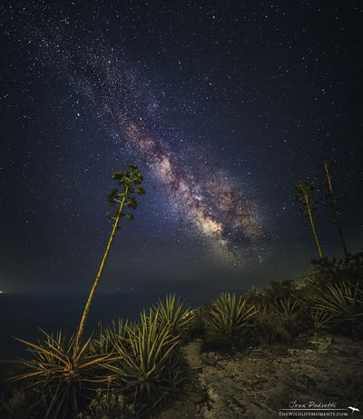 starry agave